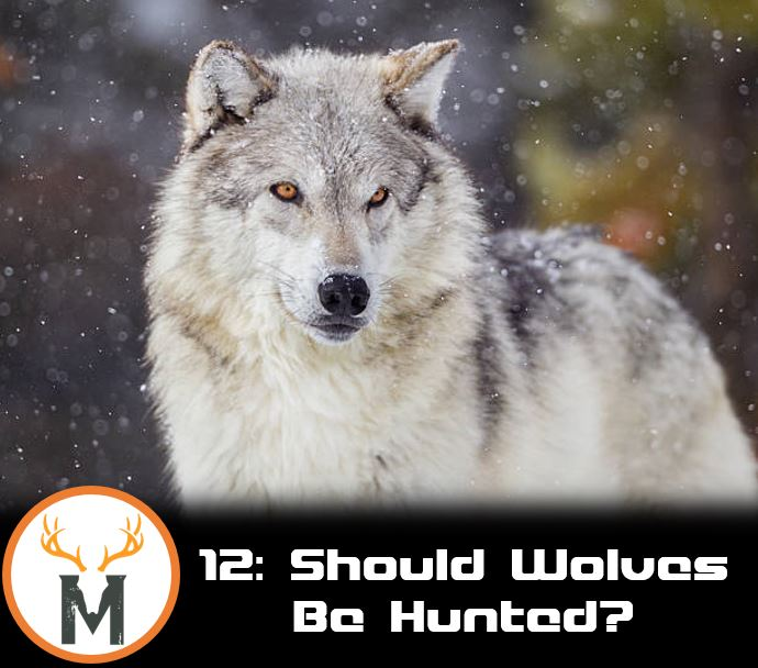 Should wolves be hunted?